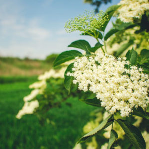 NATURAL ELDERFLOWER CONCENTRATE SOLID EXTRACT