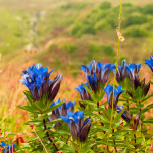 NATURAL GENTIAN ROOT EXTRACT