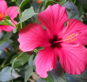 NATURAL HIBISCUS EXTRACT